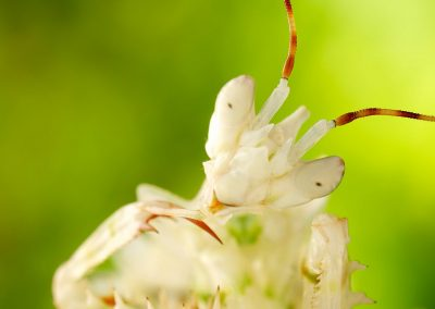 Preying_Mantis-400x284