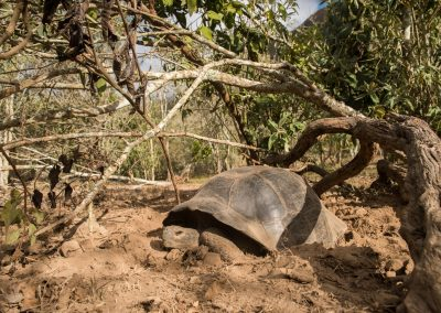 Nesting Alcedo Tortoise in the Galapagos Islands